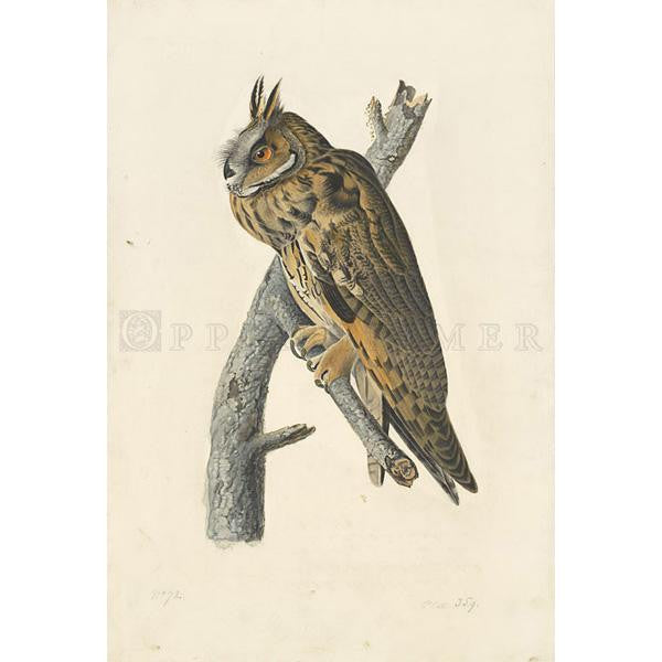 Long-eared Owl Oppenheimer Print