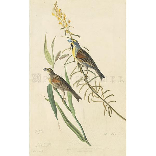 Black-throated Bunting Oppenheimer Print