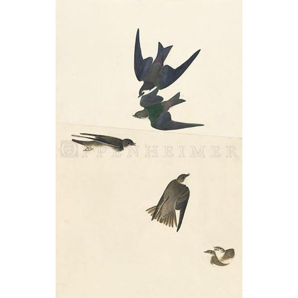 Bank Swallow and Violet-Green Swallow Oppenheimer Print - New-York Historical Society Museum Store