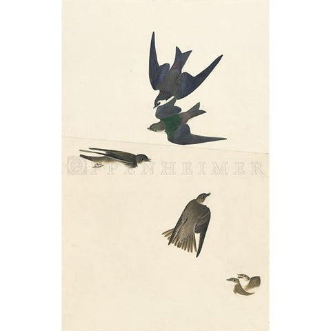 Bank Swallow and Violet-Green Swallow Oppenheimer Print