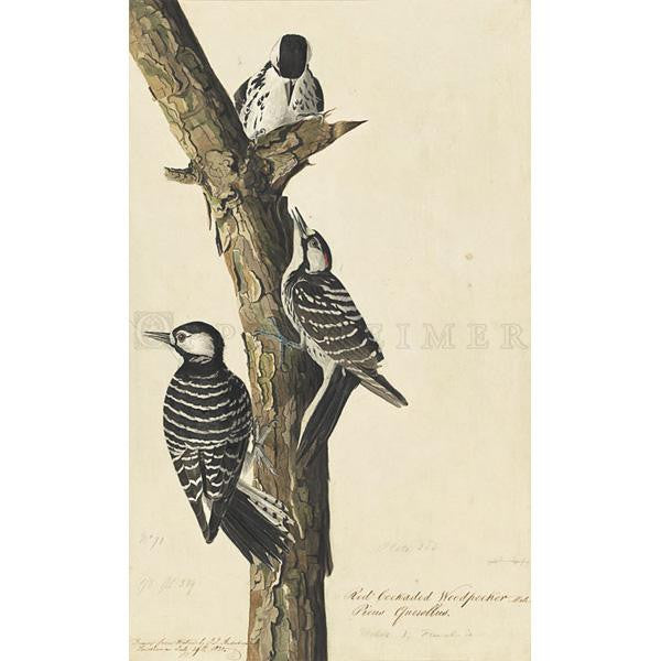 Red-Cockaded Woodpecker Oppenheimer Print