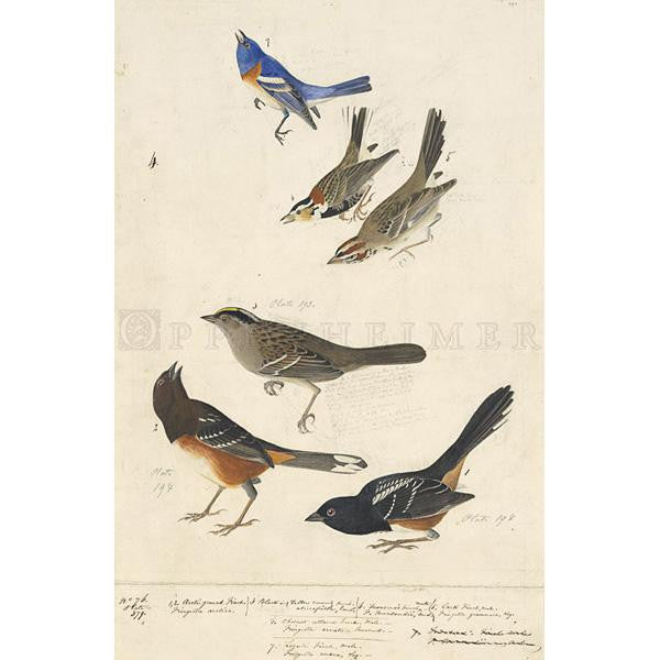 Chestnut-colored Finch, et al Oppenheimer Print - New-York Historical Society Museum Store