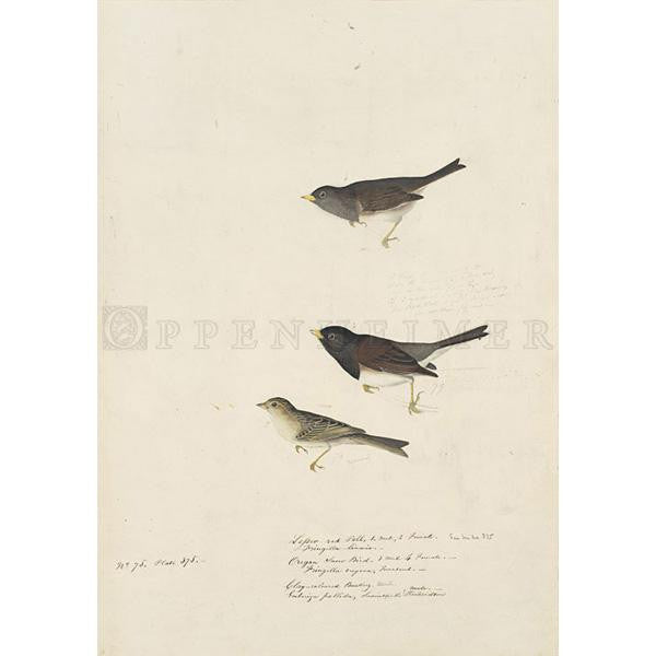 Clay-coloured Finch and Oregon Snow Finch Oppenheimer Print