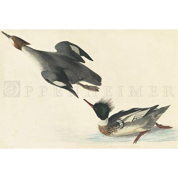 Red-breasted Merganser Oppenheimer Print