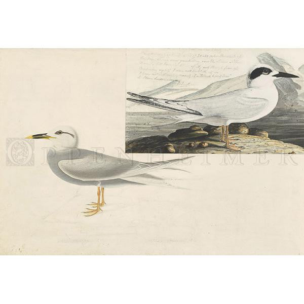 Havell's Tern and Trudeau's Tern Oppenheimer Print