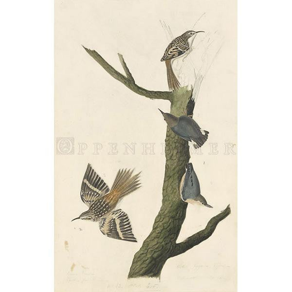 Brown Creeper and Californian Nuthatch Oppenheimer Print - New-York Historical Society Museum Store