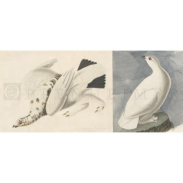 American Ptarmigan Oppenheimer Print - New-York Historical Society Museum Store