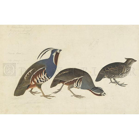 Plumed Partridge and Thick-legged Partridge Oppenheimer Print