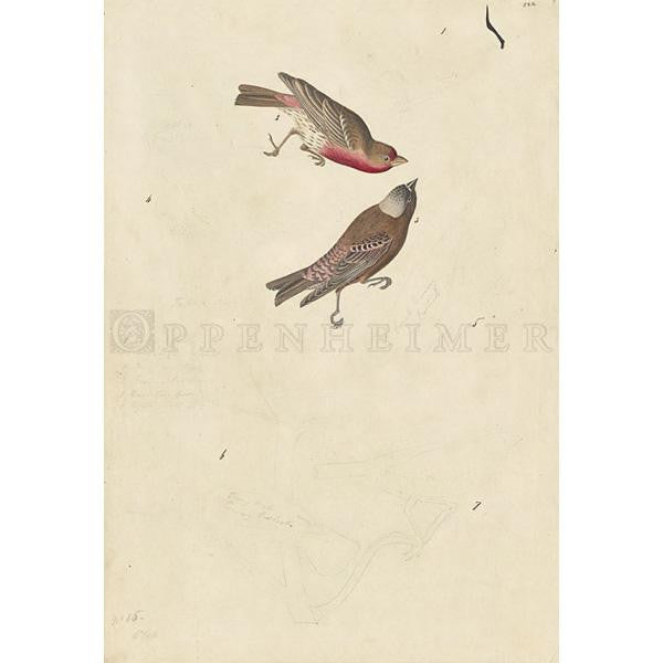 Crimson-fronted Finch and Grey-crowned Rosy Finch Oppenheimer Print