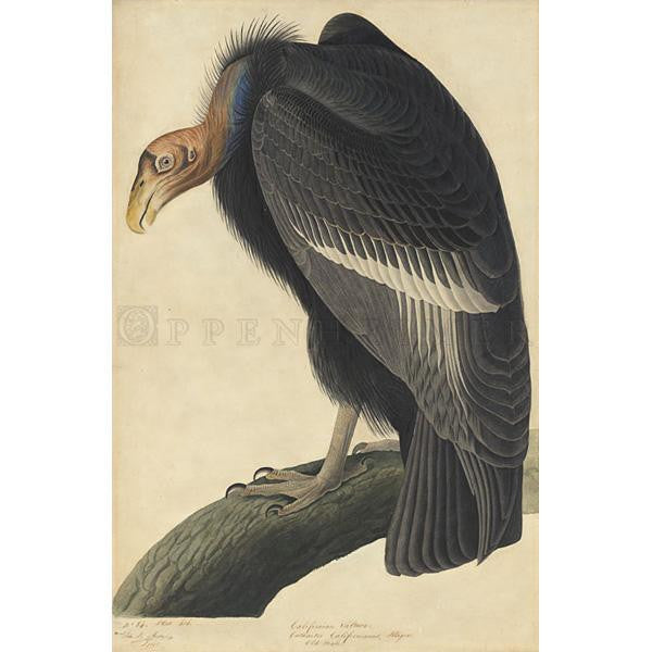 California Vulture Oppenheimer Print - New-York Historical Society Museum Store
