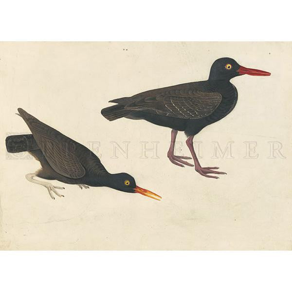 White-legged Oyster-catcher and Bachman's Oystercatcher Oppenheimer Print