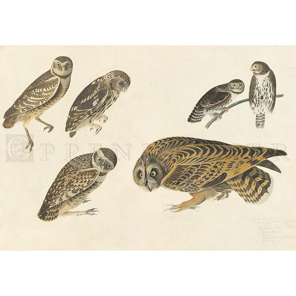 Burrowing Owl and Large-headed Burrowing Owl Oppenheimer Print - New-York Historical Society Museum Store