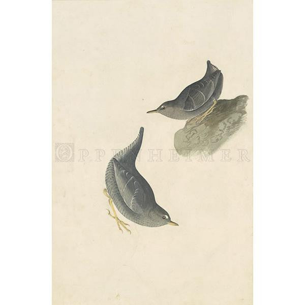Columbian Water Ouzel Oppenheimer Print - New-York Historical Society Museum Store