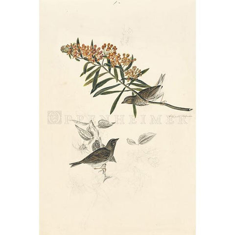 Sparrows (unidentified) Oppenheimer Print
