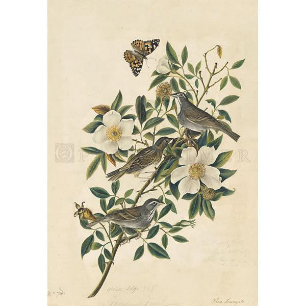Townsend's Bunting Oppenheimer Print