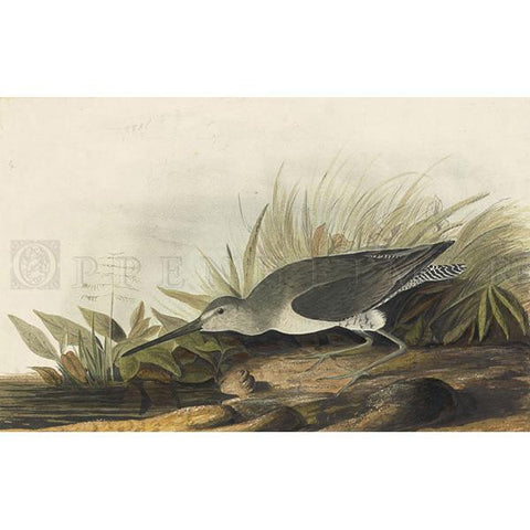 Long-billed Dowitcher Oppenheimer Print
