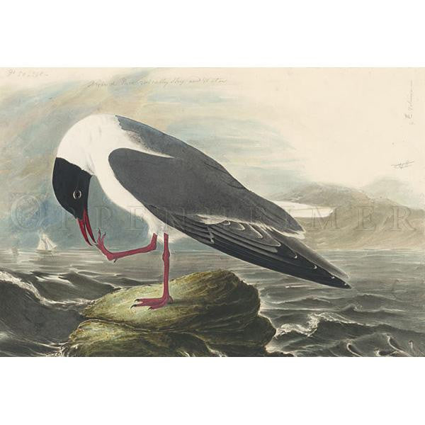 Common Black-headed Gull Oppenheimer Print