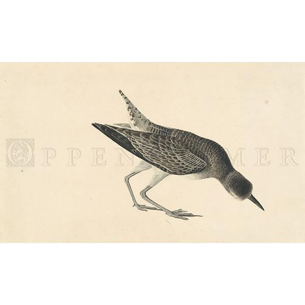 Black-bellied Plover (winter plumage) Oppenheimer Print