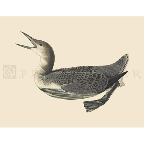 Arctic Loon Oppenheimer Print
