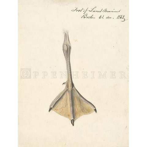 Foot of Great Black-backed Gull Oppenheimer Print