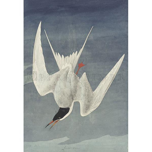 Common Tern Oppenheimer Print - New-York Historical Society Museum Store