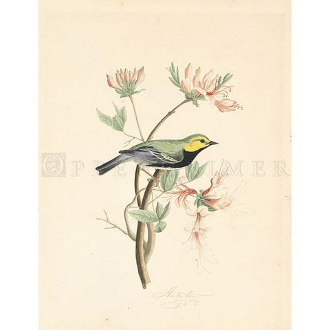 Black Throated Green Warbler Oppenheimer Print