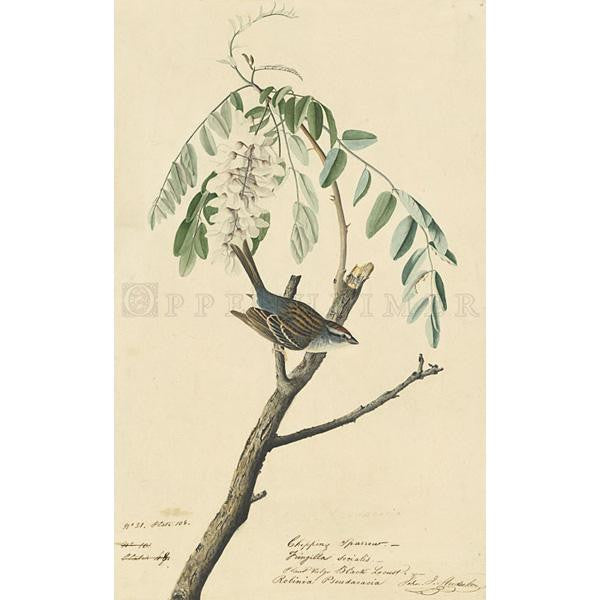 Chipping Sparrow Oppenheimer Print - New-York Historical Society Museum Store