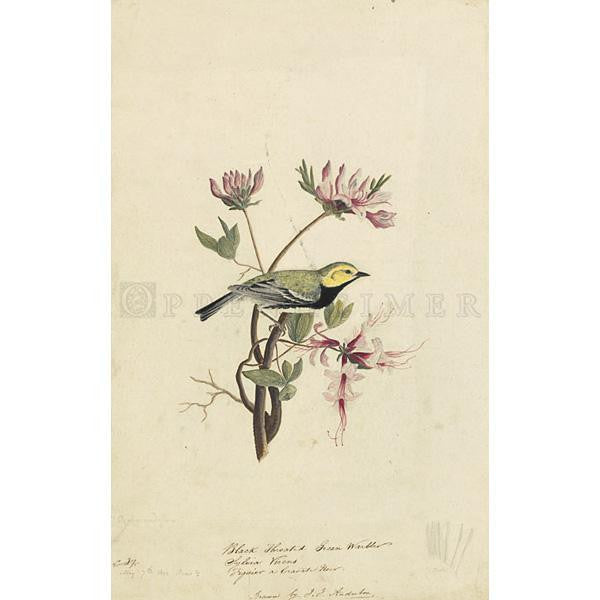 Black-throated Green Warbler Oppenheimer Print - New-York Historical Society Museum Store