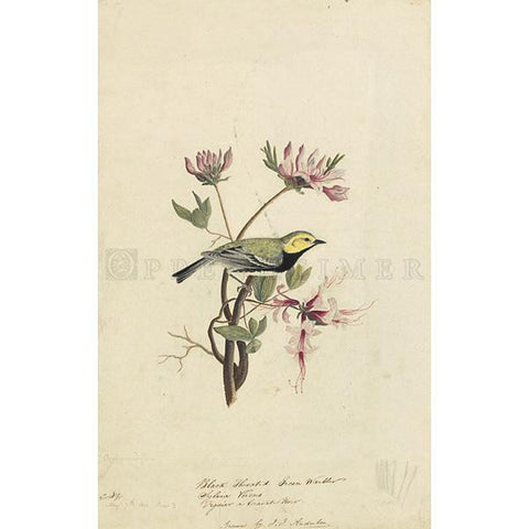 Black-throated Green Warbler Oppenheimer Print