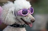Doggles ILS are the first and only protective eyewear designed just for dogs!