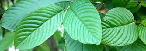kratom leaves close up
