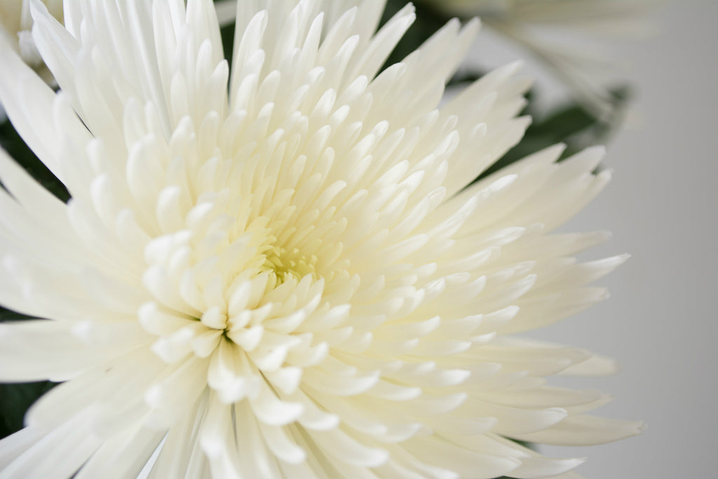 Close up image of a white chrysanthemum bloom.