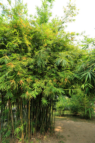 Bamboo Gardening 02 | WeatherStationary.com