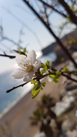 Sprinb blossoms Adriatic Sea Dubrovnik Croatia Banje Beach