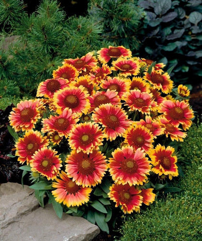 Flower Seeds - Gaillardia Aristata Seeds