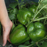 Green Pepper Capsicum California Wonder Seeds The Immart