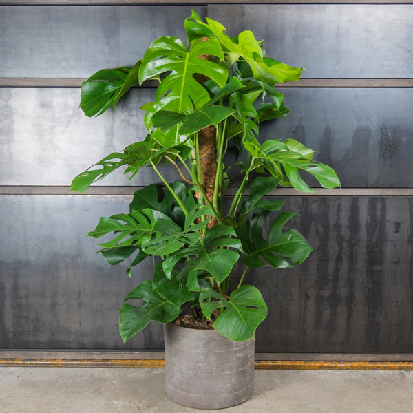 Philodendron Red Emerald kopen
