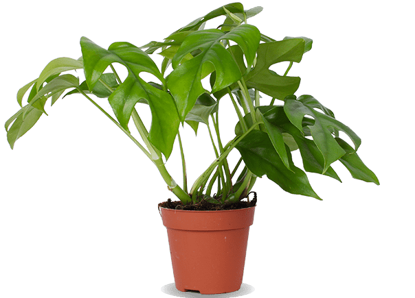 Monstera Rhaphidophora