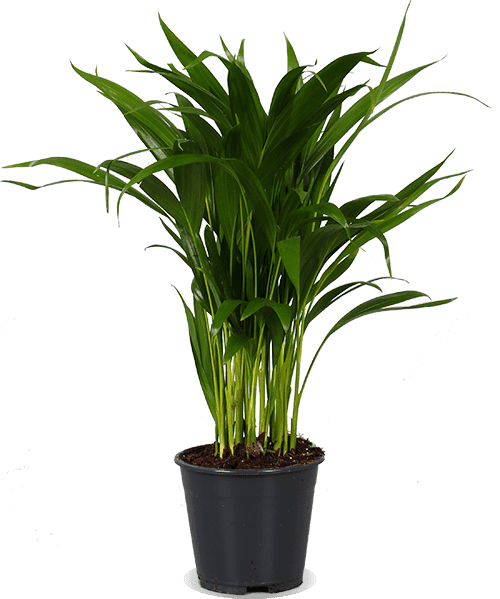 Areca (Dypsis lutescens)