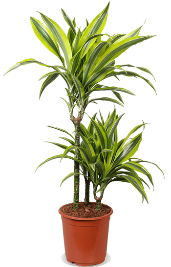 Dracaena Lemon Lime (M)
