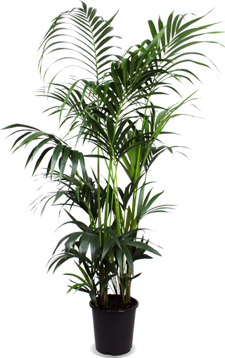 Kentia Howea (XL)