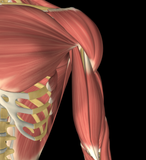 How to Treat Coracobrachialis?