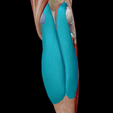 Trigger Point Therapy - Gastrocnemius Anatomy