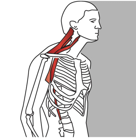 Splenius Cervicus Trigger Points