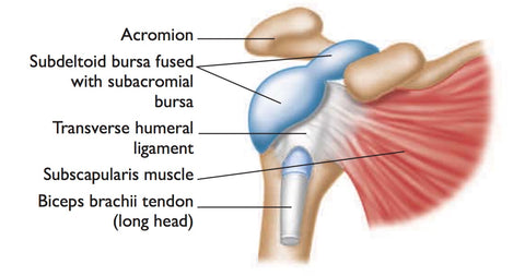 trigger point therapy - shoulder bursitis – niel asher healthcare, Human Body