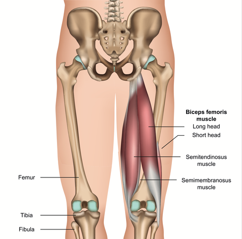 Hamstring Muscles and Trigger Point Release