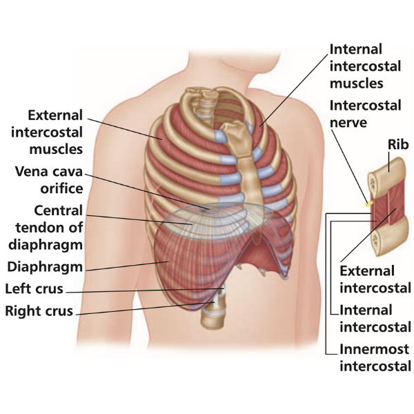 Intercostal Muscles Trigger Point Release