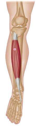 Trigger Point Therapy - Tibialis Anterior