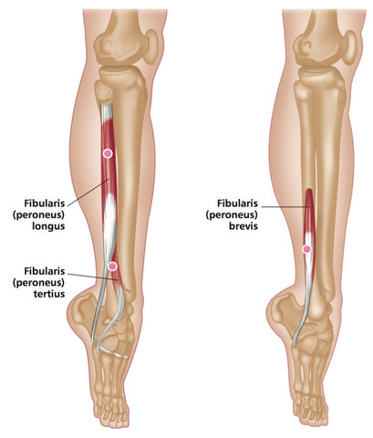 fibularis longus pain - 409×480