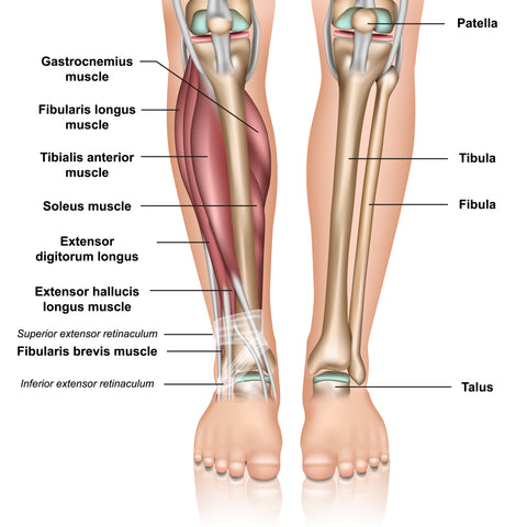 Peroneus Muscles Trigger Point Anatomy
